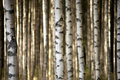 Trunks of birch trees close up Stock Photo