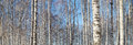 Trunks of birches in winter forest landscape Royalty Free Stock Image