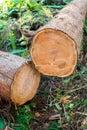 Trunks of Cedar pine tree. Royalty Free Stock Photo