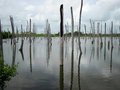 The trunks of dead trees submerged in water. Royalty Free Stock Photo