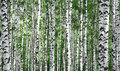 Trunks of summer birch trees Royalty Free Stock Photo