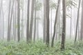 Trunks of trees in a floodplain forest foggy morning Royalty Free Stock Photo