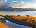 Trusting guanaco on the lake grey shore of national park torres del paine chile gray and snow capped mountains blue iceberg Royalty Free Stock Photo