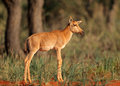 Tsessebe antelope calf Royalty Free Stock Photo