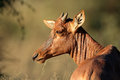 Tsessebe antelope portrait Royalty Free Stock Photo