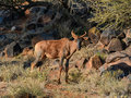 Tsessebe Antelope Royalty Free Stock Photo