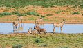 Tsessebe and Roan Antelope Royalty Free Stock Photo