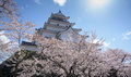 Tsuruga castle surrounded by hundreds of sakura trees Royalty Free Stock Photography