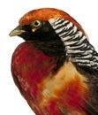 Tät guld- male pheasant upp Arkivfoto