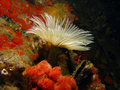 Tube anemone Stock Images