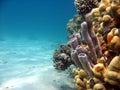 Tube Coral Royalty Free Stock Photo