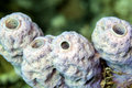 ,Tube Sponge,Callyspongia vaginalis Stock Photo