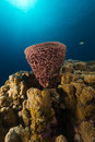 Tube sponge and tropical reef in the Red Sea. Royalty Free Stock Photography