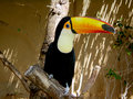 The tucan Stock Image