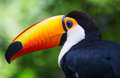 image photo : Colorful tucan