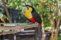 Tucano parque das aves foz do iguacu brazil at Stock Photo