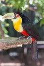 Tucano parque das aves foz do iguacu brazil at Stock Image