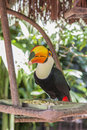 Tucano parque das aves foz do iguacu brazil at Royalty Free Stock Photography