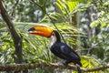 Tucano, Parque das Aves, Foz do Iguacu, Brazil. Royalty Free Stock Photo