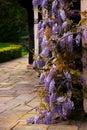 Tudor antique house Blakesley Hall entrance wisteria twine vine decorative tree flower uk Birmingham Royalty Free Stock Photo