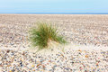 Tuft of grass in the sand on a stone beach Stock Image