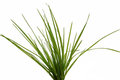 Tuft of grass on white background Stock Photos