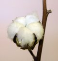 tuft of white cotton ball directly in the plant of cotton plantation Royalty Free Stock Photo