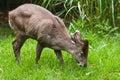 Tufted олени Стоковое фото RF