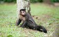 Tufted Capuchin by a tree Royalty Free Stock Photo