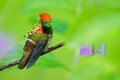 Tufted Coquette, colorful hummingbird with orange crest and collar in the green and violet flower habitat, Trinidad Royalty Free Stock Photo