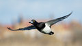 Tufted Duck (Aythya fuligula) in flight Royalty Free Stock Photo