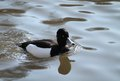 Tufted duck a black and white swimming on the water Royalty Free Stock Images