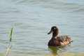 Tufted duck portrait female estonia Stock Image