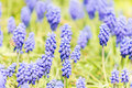 Tufted Grape Hyacinth Purple Flower Field Royalty Free Stock Photo