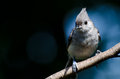 Tufted titmouse against a blue background perched Royalty Free Stock Photo