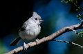 Tufted titmouse against a blue background perched in tree Royalty Free Stock Images