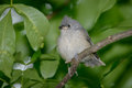 Tufted Titmouse Baby