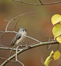 Tufted Titmouse (Baeolophus bicolor) Royalty Free Stock Photography