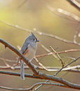Tufted Titmouse (Baeolophus bicolor) Stock Images
