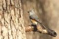 Tufted Titmouse Bird on Branch