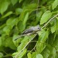 Tufted titmouse bird on limb