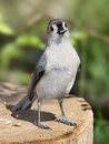 Tufted titmouse caught his beak cookie jar parus bicolor sunflower seed his beak Royalty Free Stock Photo