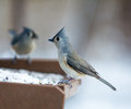 Tufted titmouse a closeup photo of a bird in winter Royalty Free Stock Photography