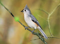 Tufted titmouse a cute little bird the nicely posing with it s crest raised as if for a portrait parus bicolor Stock Image
