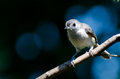Tufted titmouse perched on a branch against blue background Royalty Free Stock Images