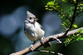 Tufted titmouse perched on a branch against blue background Stock Photos