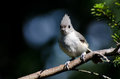 Tufted titmouse perched on a branch of an evergreen tree Royalty Free Stock Photos