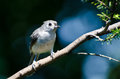 Tufted titmouse perched on a branch in tree Stock Photography
