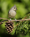 Tufted Titmouse Royalty Free Stock Photo