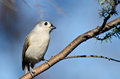 Tufted titmouse perched in a tree on branch Royalty Free Stock Image